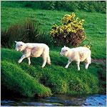 『最後の羊』有線放送の囁きが怖い?