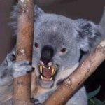 「ドロップベア」コアラに似て非なる凶暴なUMA